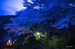 青桜が咲く時