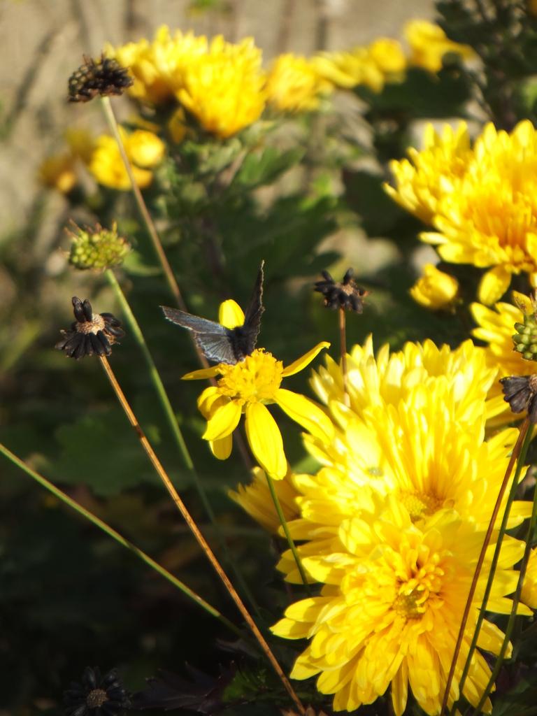 蝶よ、隣の花の方が・・・
