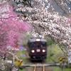桜と花桃に囲まれて
