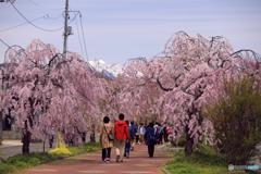 日中線のしだれ桜 1