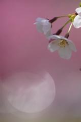 山桜・・・