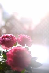 午後のバラ No2