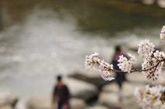 桜 ~ 飛び石のある風景