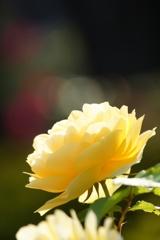 バラが咲いてた♪