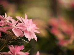 ピンク色の妖精