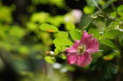 木陰に憩うバラ