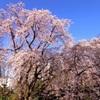 しだれ桜(六義園)