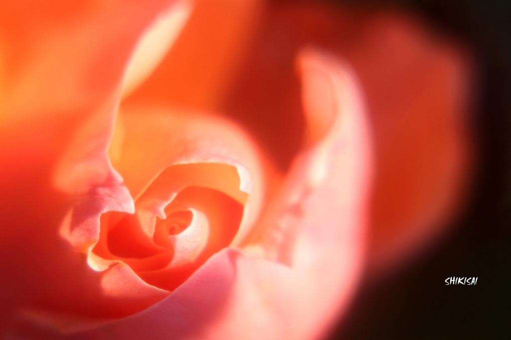 冬薔薇2020-1