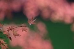 紅 葉 雲