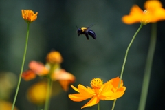 Walk of carpenter bee