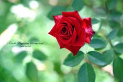 翠緑に赤く咲くニコロ・パガニーニ
