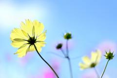 幸福の黄色い秋桜