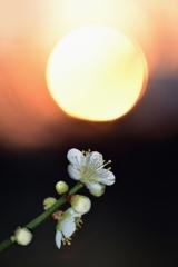 優麗の夕梅Ⅱ