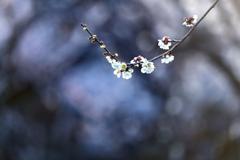 春来るらし