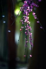 季節の狭間 降り梅
