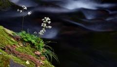 元滝伏流水と大文字草Ⅱ