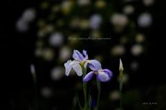 梅雨花の鬱鬱