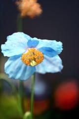 孤高の青い芥子