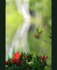 駒出池の白樺と躑躅