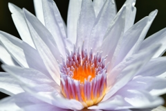 Water lily fireworks