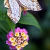 石崖蝶とランタナⅡ