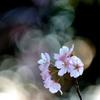 五千枚  桜燦々(有り難うございます)