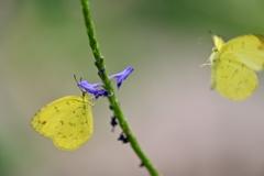 穂長草と黄蝶