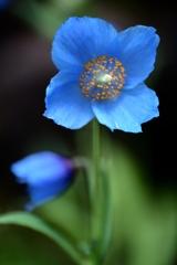孤高の青い芥子Ⅱ