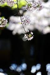 桜雲緑雲咲く
