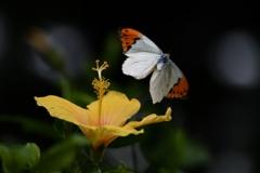 褄 紅 蝶