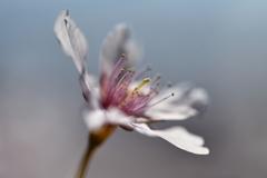 玉縄桜の肖像