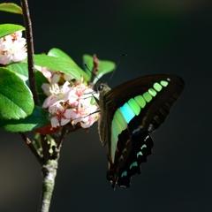 車輪梅とエメラルド色の蝶