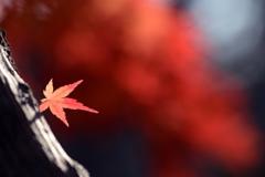 一葉と紅雲