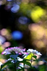 紫陽花陸離