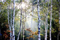 白樺林の木漏れ日