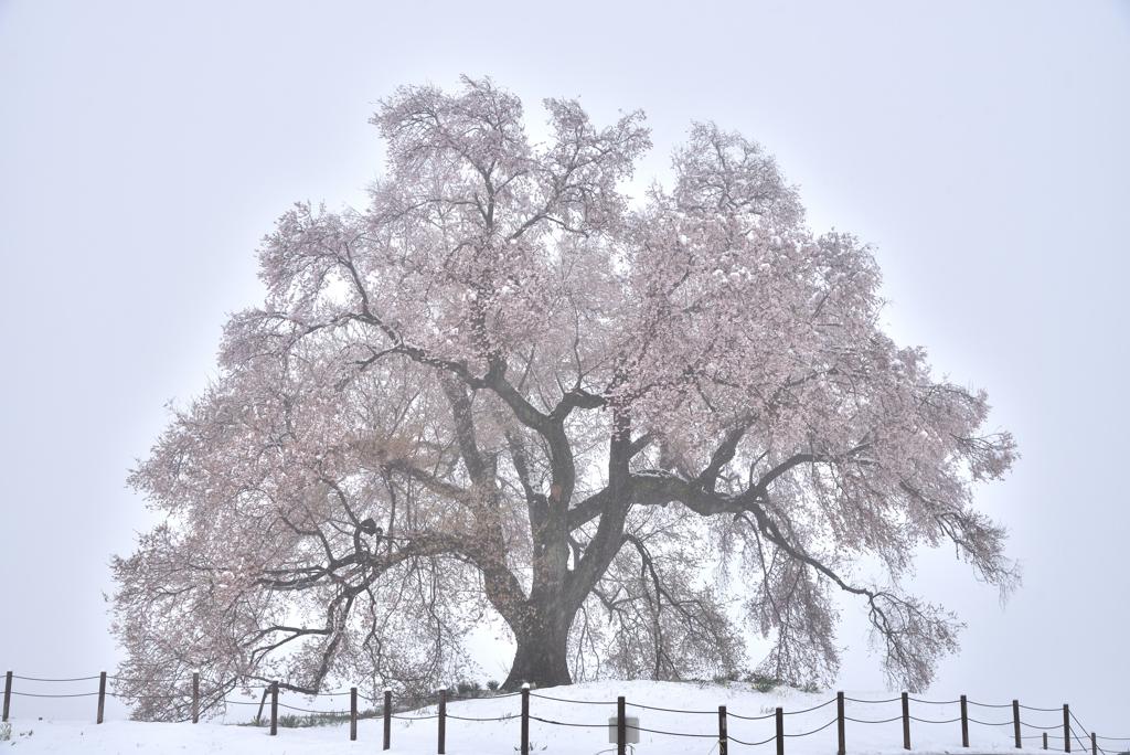 わに塚の桜 (雪化粧)