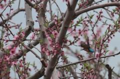 桃花林を行く