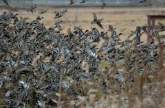 群れ飛ぶ鴨