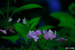 侘しい紫陽花