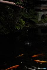 報国寺の鯉たち