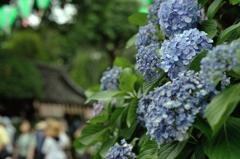 紫陽花に集う
