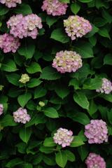 極楽寺の紫陽花