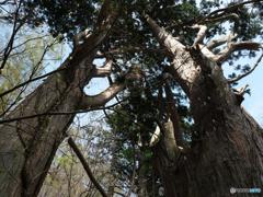 巨木を仰ぐ