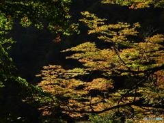 秋陽葉彩Ⅱ