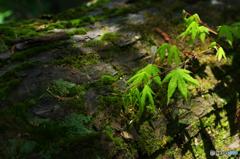 倒木にも新緑