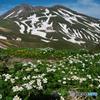 ハクサンイチゲの山Ⅵ