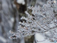 凍てつく枝