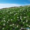 ハクサンイチゲの山Ⅴ