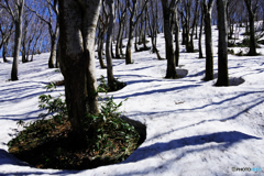 ブナ林の春