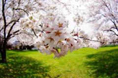 2012桜-19